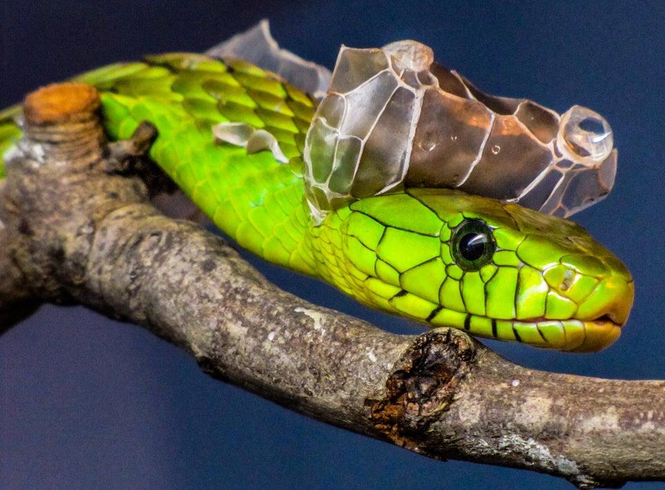 Plan rapproché de la tête d'un serpent vert fluorescent en mue.